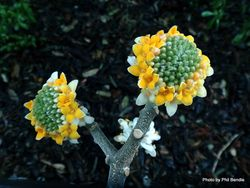 Phil Bendle Collection:Edgeworthia tomentosa (Oriental Paperbush)