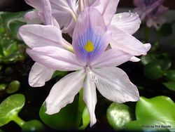 Phil Bendle Collection:Eichhornia crassipes (Water hyacinth)