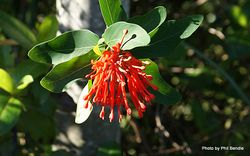 Phil Bendle Collection:Embothrium coccineum (Chilean fire bush)