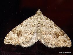 Phil Bendle Collection:Geometer moths (Family Geometridae) Emerald moths