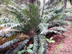 Phil Bendle Collection:Encephalartos transvenosus (Modjadji Cycad)