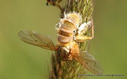 Phil Bendle Collection:Entomophthora muscae (Fly Death Fungus)