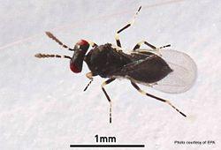 Phil Bendle Collection:Wasp (Tomato potato psyllid wasp) Tamarixia triozae