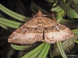 Phil Bendle Collection:Epyaxa lucidata