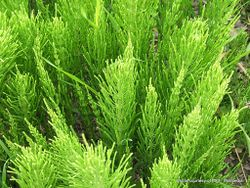 Phil Bendle Collection:Equisetum arvense (Field Horsetail)