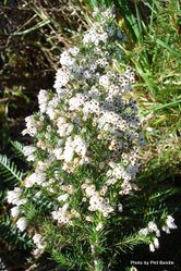 Phil Bendle Collection:Erica arborea (Tree Heath)