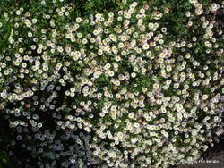 Phil Bendle Collection:Erigeron karvinskianus (Mexican Daisy)