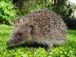 Phil Bendle Collection:Hedgehog (Brown) Erinaceus europaeus ssp. occidentalis