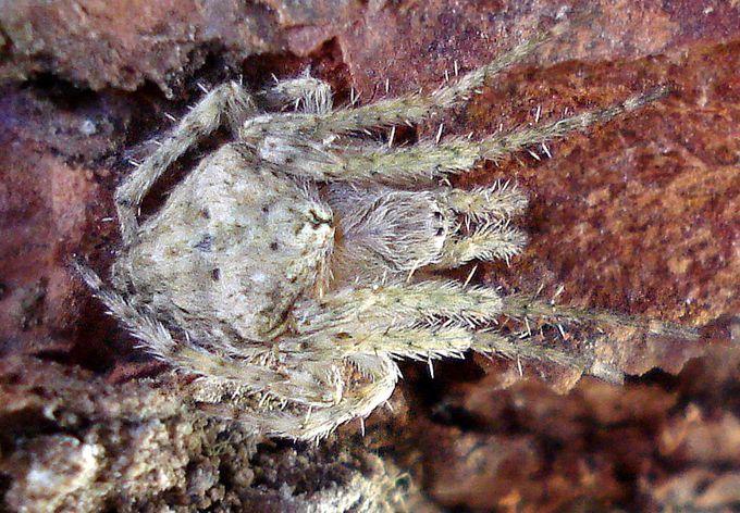 Eriophora pustulosa-4.JPG