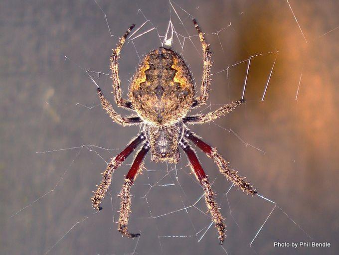 Eriophora pustulosa Garden orbweb spider-2.JPG
