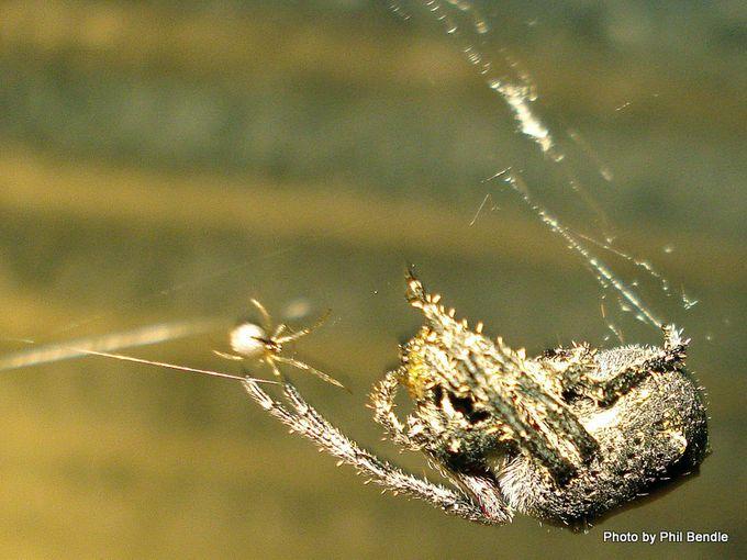 Eriophora pustulosa Orb web spider.JPG