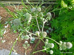Phil Bendle Collection:Eryngium paniculatum (Sea Holly)