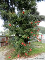 Phil Bendle Collection:Erythrina crista-galli (Cockspur Coral Tree)