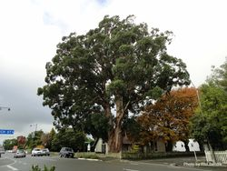 Phil Bendle Collection:Eucalyptus regnan (Mountain ash)