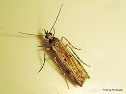 Phil Bendle Collection:Eudonia leptalea