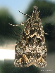 Phil Bendle Collection:Eudonia minualis