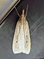 Phil Bendle Collection:Eudonia sabulosella (Sod webworm moth)