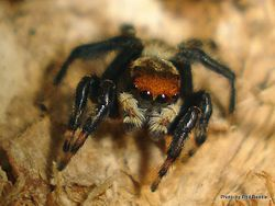 Phil Bendle Collection:Jumping spider Information.