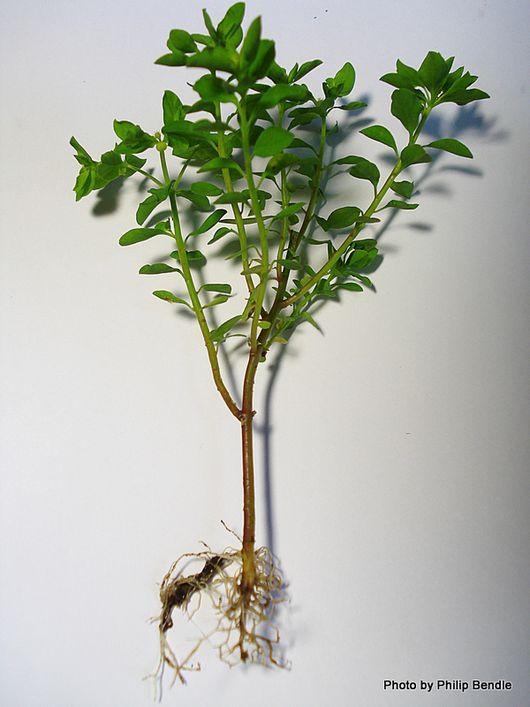 Euphorbia peplus Milkweed Petty Spurge-8.JPG