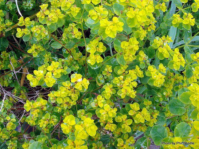 Euphorbia unkown Spurge-001.JPG