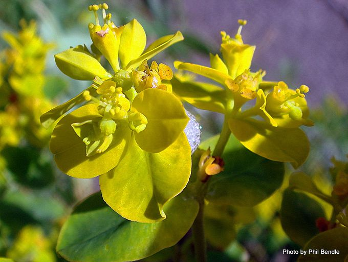 Euphorbia unkown Spurge-003.JPG