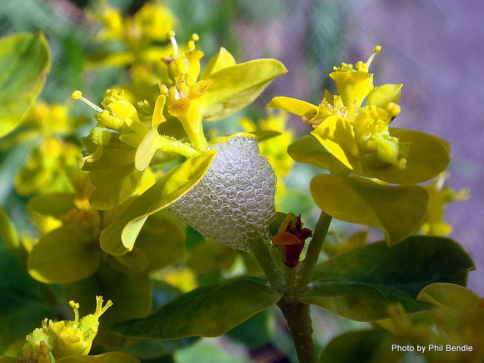 Euphorbia unkown Spurge-004.JPG