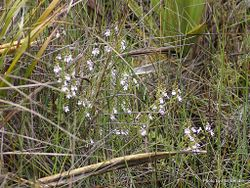 Phil Bendle Collection:Euphrasia cuneata (North Island Eyebright)