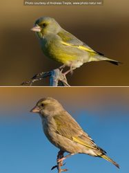 Phil Bendle Collection:Greenfinch (Chloris chloris)
