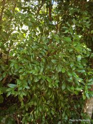 Phil Bendle Collection:Streblus banksii (Large leaved milk tree)
