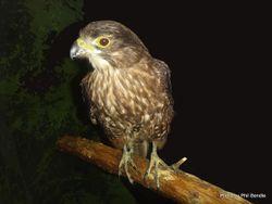 Phil Bendle Collection:Falcon (New Zealand) Falco novaeseelandiae