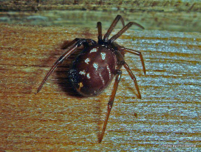 False Katipo Steatoda capensis male.JPG