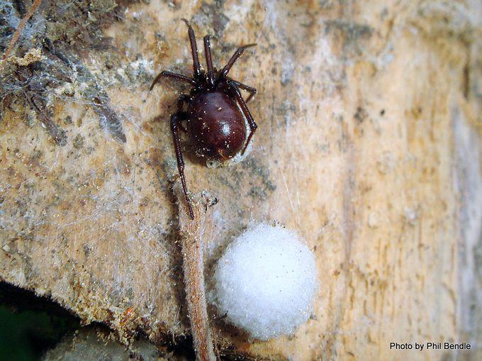 False katipo spider Steatoda capensis .JPG