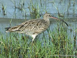 Phil Bendle Collection:Curlew (Far Eastern) Numenius madagascariensis