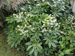 Phil Bendle Collection:Fatsia japonica (Japanese aralia)