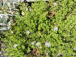 Phil Bendle Collection:Felicia amelloides (Blue daisy)