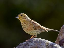 Phil Bendle Collection:Cirl bunting (Emberiza cirlus)
