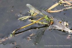 Phil Bendle Collection:Damselfly (Gossamer) Ischnura aurora