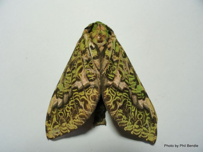 Female Puriri moth Aenetus virescens 3 .JPG