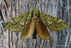 Phil Bendle Collection:Aenetus virescens (Puriri moth)