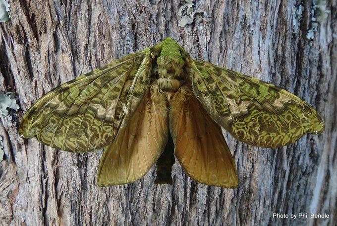 Female Puriri moth on puriri tree trunk-001.jpg