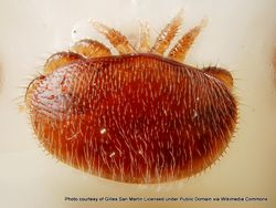 Phil Bendle Collection:Mite (Varroa mite) Varroa destructor
