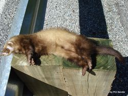 Phil Bendle Collection:Ferret (Mustela putorius furo)
