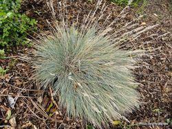 Phil Bendle Collection:Festuca coxii (Cox's fescue) Native