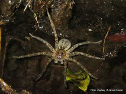 Phil Bendle Collection:Fishing spider (Dolomedes dondalei)