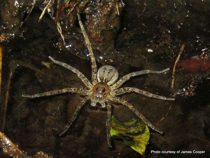 Fishing spider Dolomedes dondalei.jpg