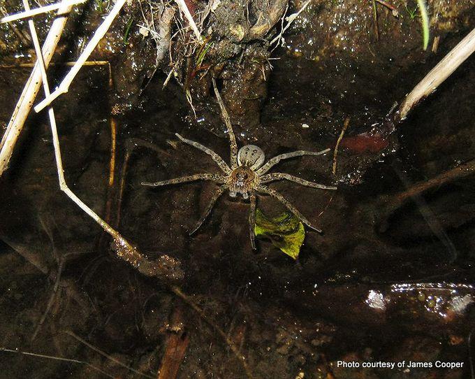 Fishing spider Dolomedes dondalei .jpg