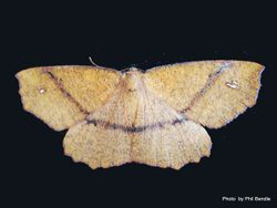 Phil Bendle Collection:Xyridacma alectoraria (Five finger looper moth)