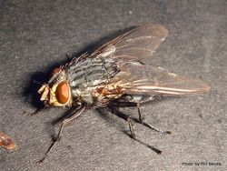 Phil Bendle Collection:Fly (Flesh) Sarcophagidae family