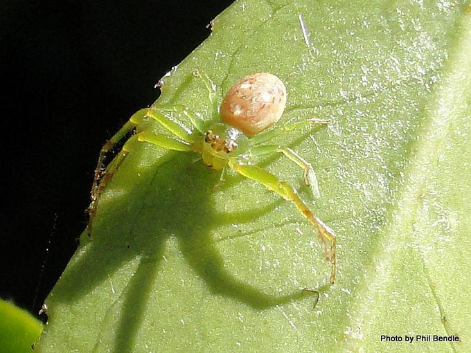 Flower spiders Species Diaea -001.JPG