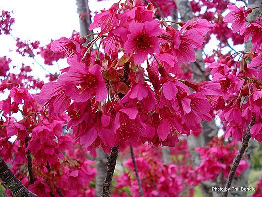 Flowering Cherry Blossom.jpg
